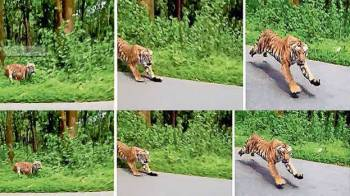 Tiger chases biker in India